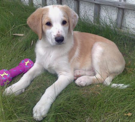 This Is The Kind Of Puppy I Want Lab Brittany Mix Just Like My