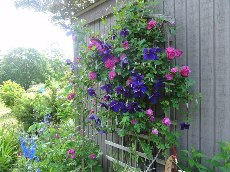 Front Yard Cottage Garden John Cabot Climbing Roses: June Garden....purple Jackmanni Clematis And John Cabot