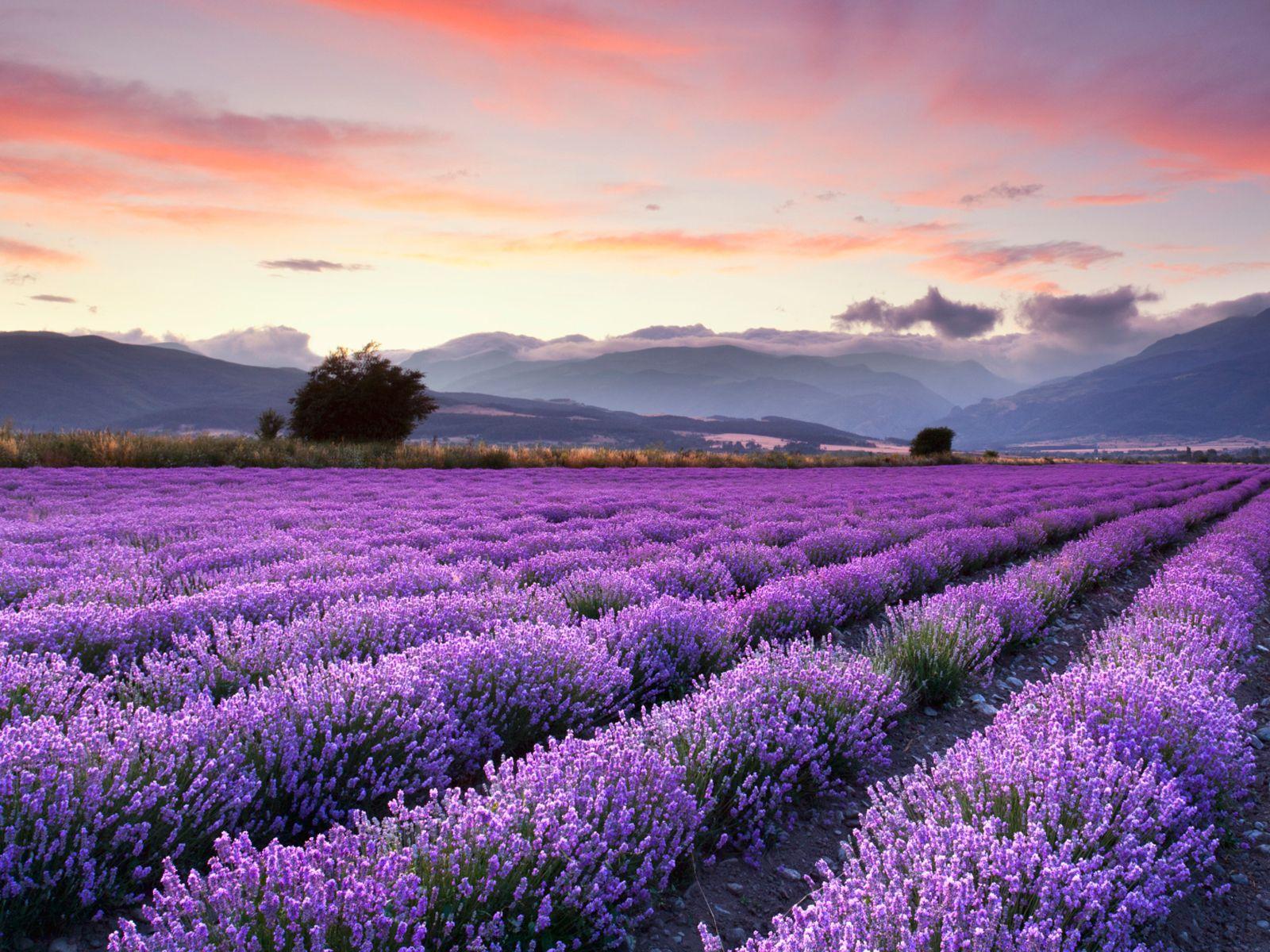 Quiz spécial plantes médicinales   Champs de lavande, Lavande et Fleurs de lavande