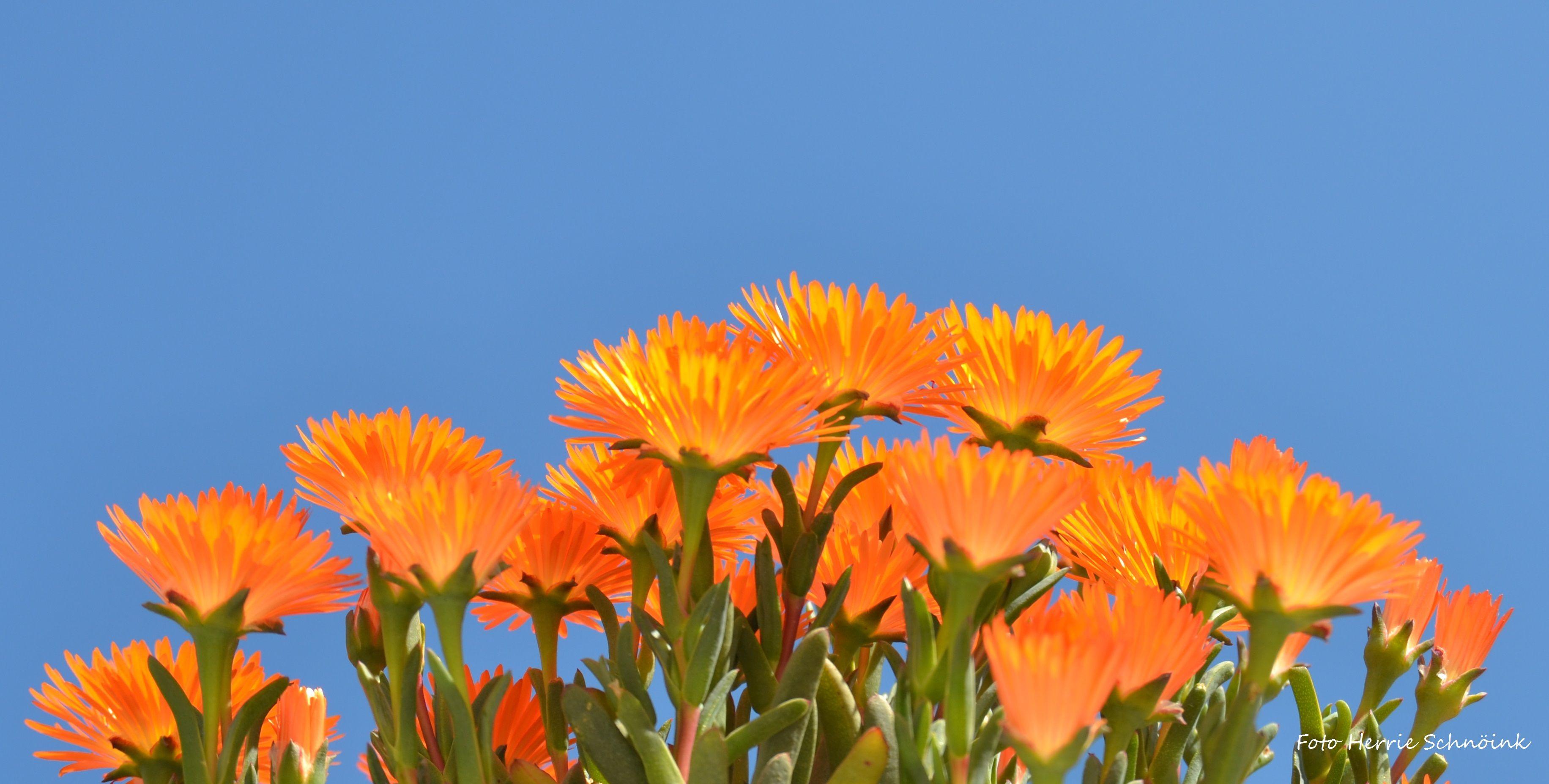 Marigold against a bright blue sky