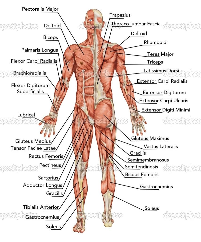 Body With Organs Diagram Human Anatomy Pictures Human Body Body