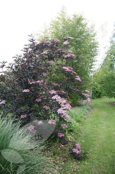 sambucus nigra f porphyrophylla 39 gerda 39 pbr such beauty garden shrubs shrubs plants. Black Bedroom Furniture Sets. Home Design Ideas