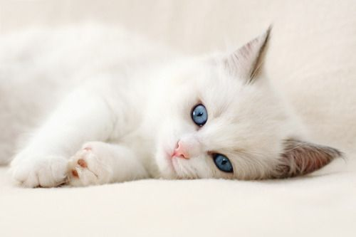 I really love white kittens with blue eyes! :)