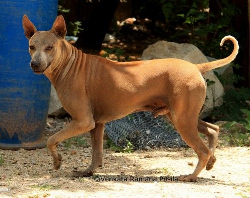Hairless Dogs Breeds