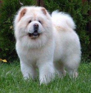 who needs a boyfriend if you've got him? Chow Chow puppy