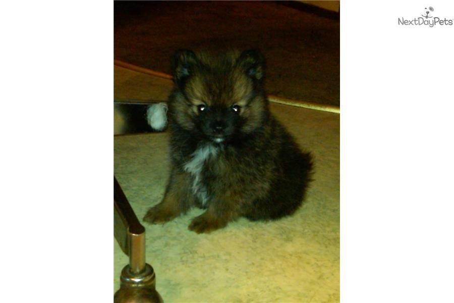 Meet Male A Cute Pomeranian Puppy For Sale For 300 Male Caramel Pomeranian Pomeranian Puppy For Sale Pomeranian Puppy Cute Pomeranian