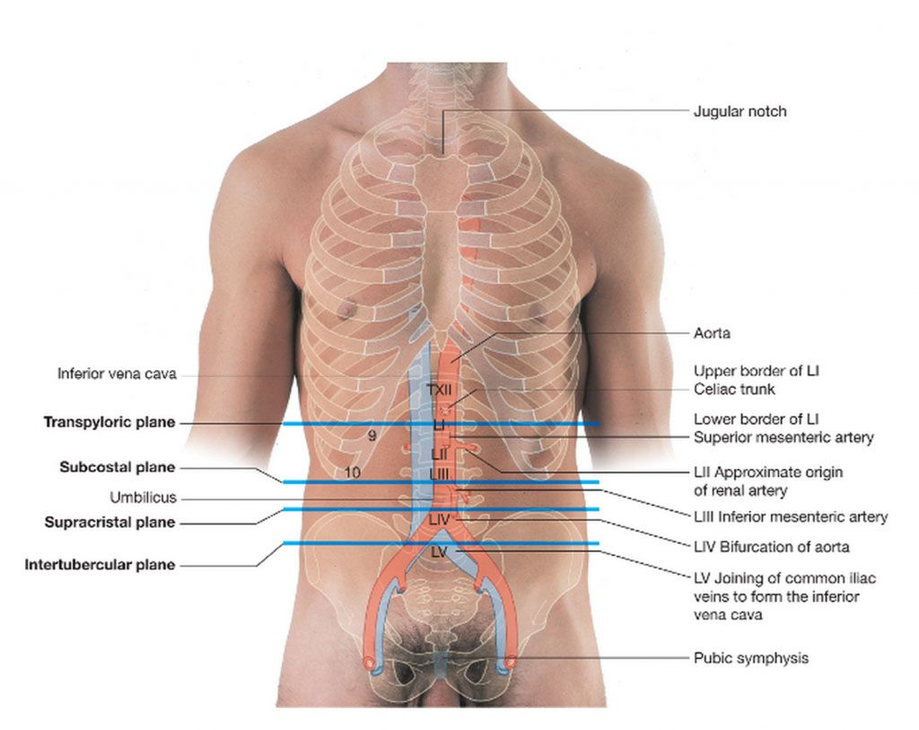 Surface anatomy of abdominal organs and ribcage of the human body ...