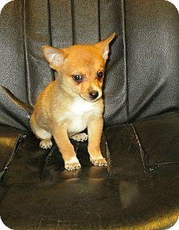 Trenton Nj Chihuahua Pomeranian Mix Meet Oscar A Puppy For