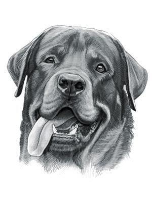 Rottweiler Dog Kresby