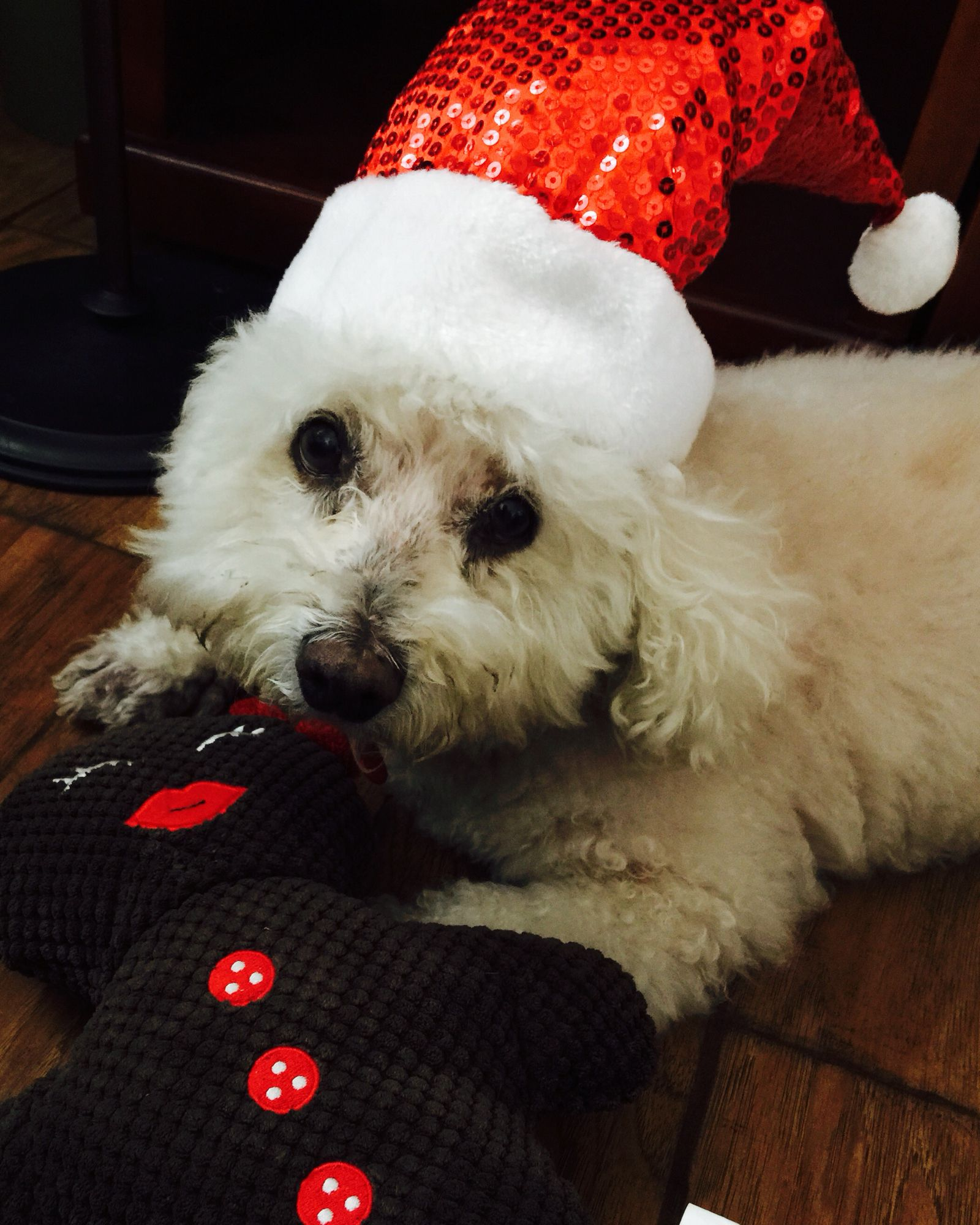 Christmas Bishon imagens) Pet shop