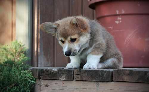 awwww-cute:  He hasn't quite figured out stairs yet (Source: http://ift.tt/1gxQIrK)