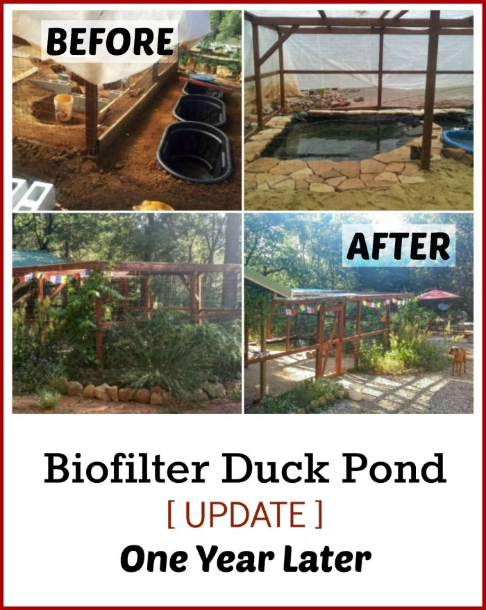 Permaculture biofilter duck pond update one year later for Homemade biofilter for duck pond