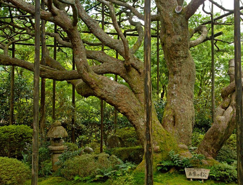 The Perks And Pitfalls of Being a Famous Tree | Atlas Obscura