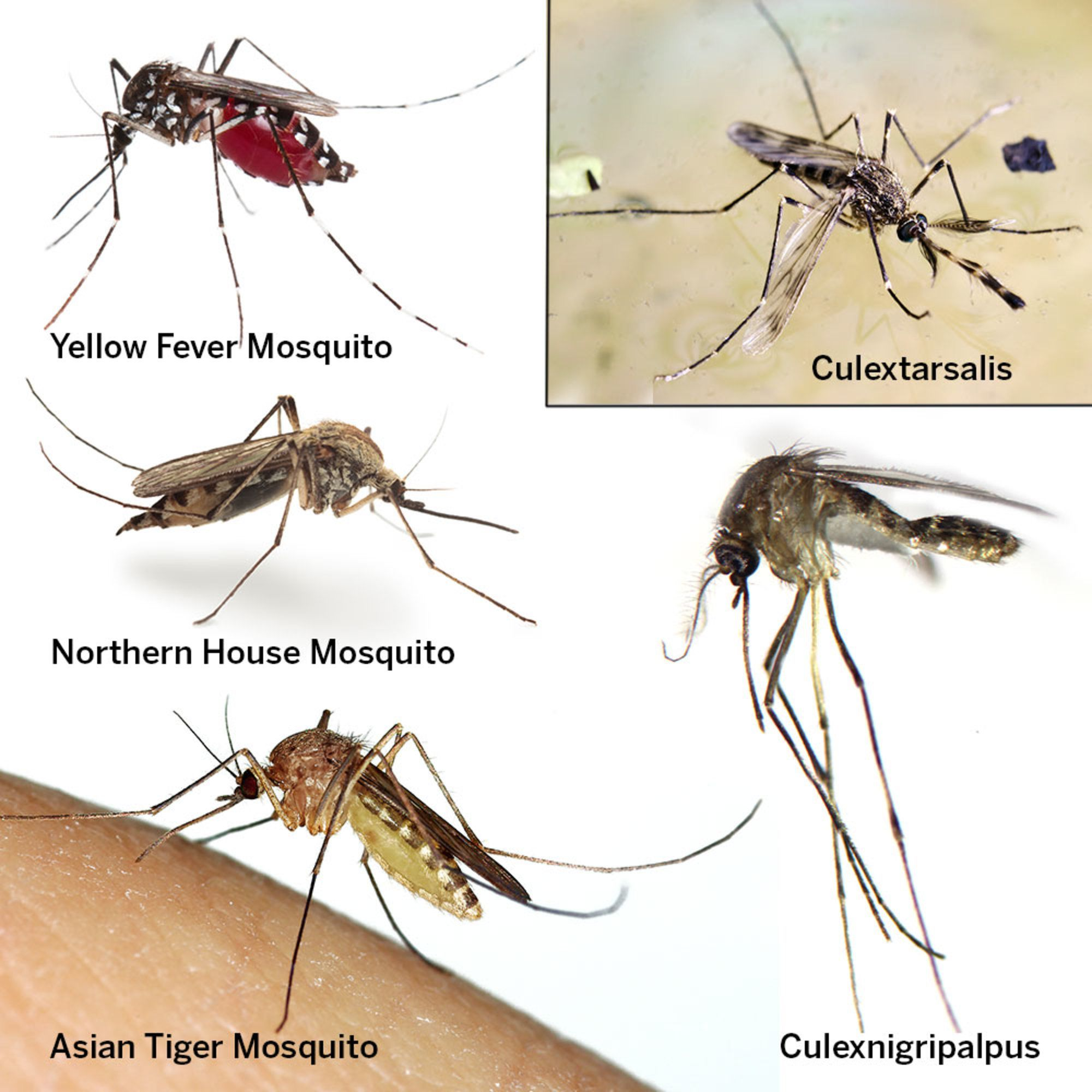Such different types of mosquitoes