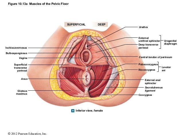 Image Result For Ann Frye Paper Pelvic Floor Health And