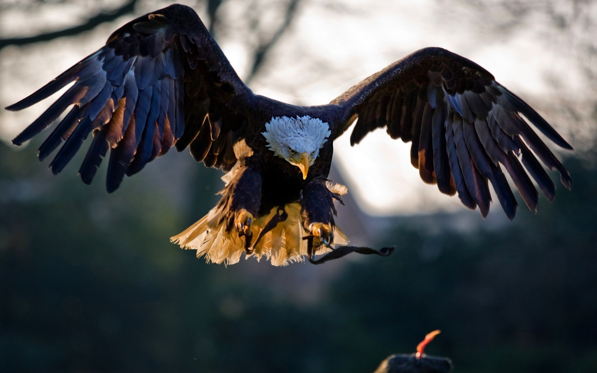 Hd wallpaper eagle - Top Eagle Hd Wallpaper Backgrounds Images Photos Free Download