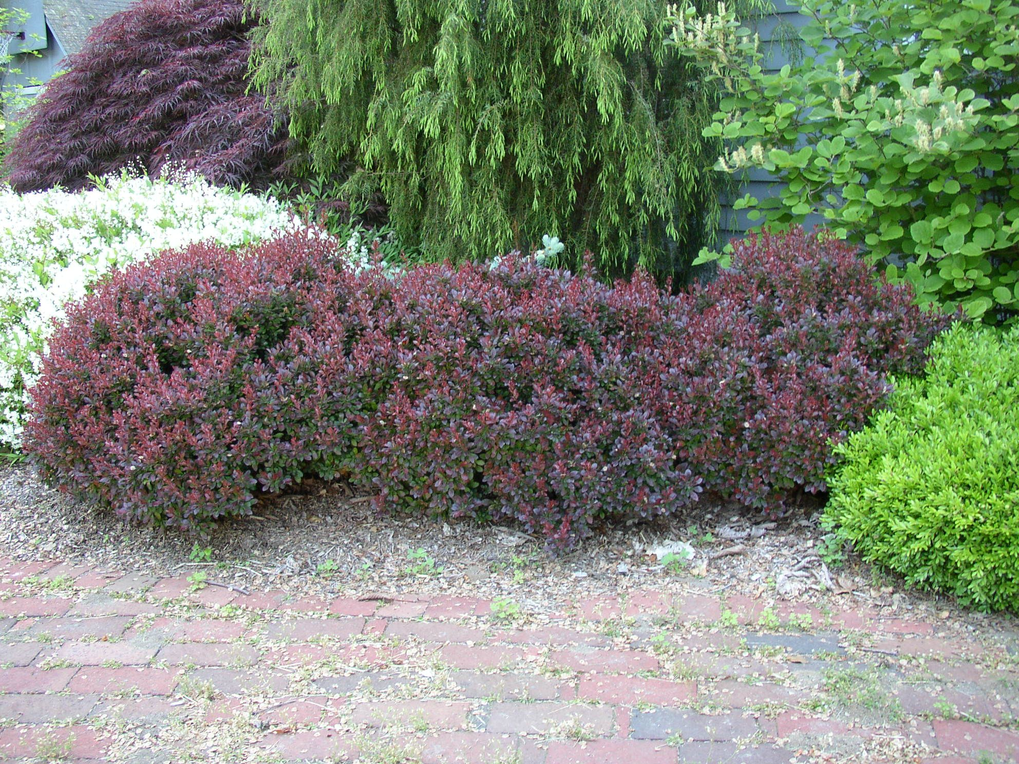 Botanical Name Berberis Thunbergii F Atropurpurea Crimson Pygmy Common Barberry Zones 4 To 8 Height 2 Feet Light Sun Part Shade Trees And