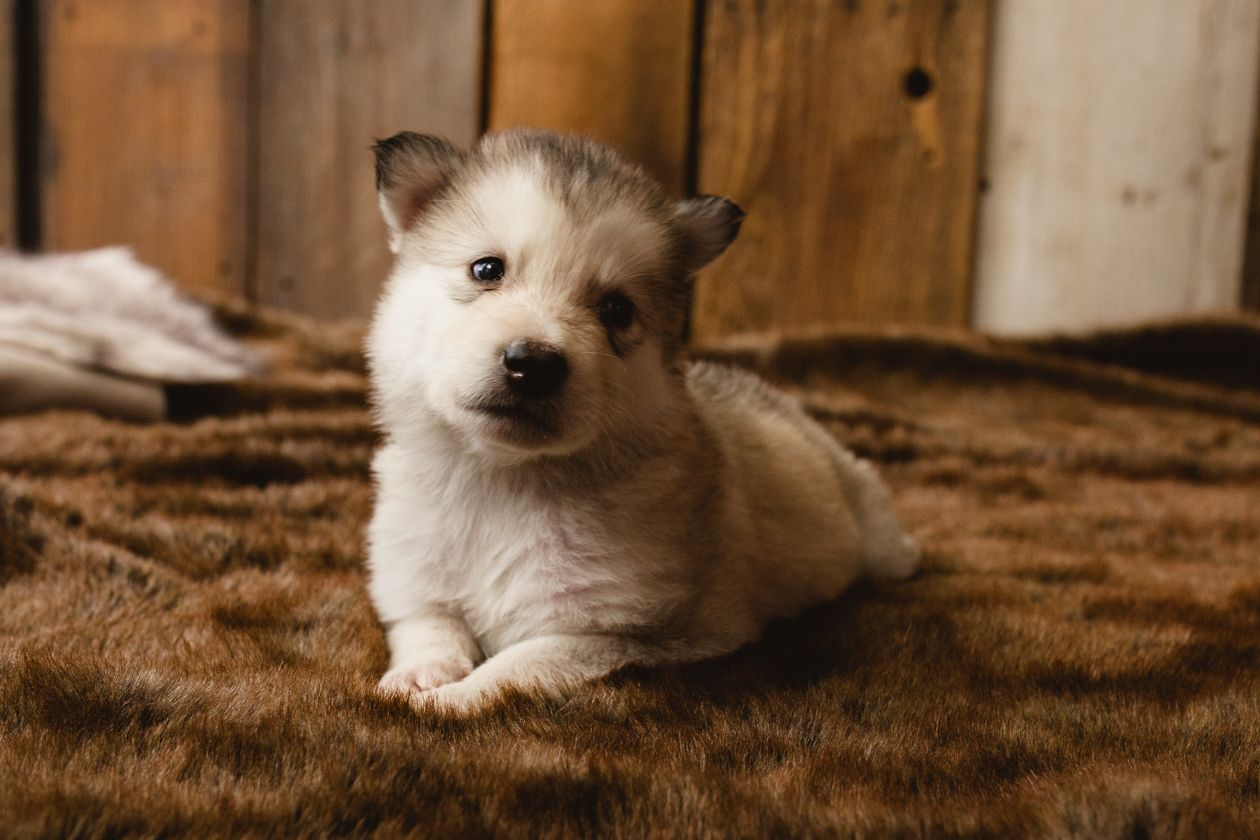Moose A Female Wolf Malamute Hybrid Puppy For Sale In Evergreen Colorado Find Cute Mixed Breed Large Pup Puppies Puppies For Sale Spaniel Puppies For Sale