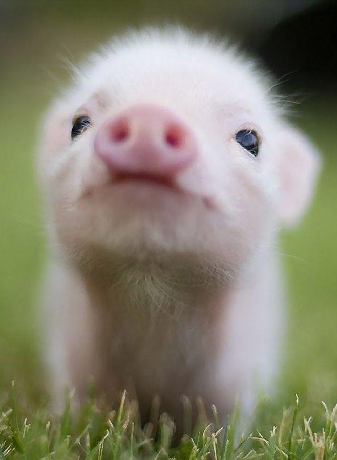 B b cochon trop mimi animaux trop chou pinterest cochons petits cochons et - Image de cochon mignon ...