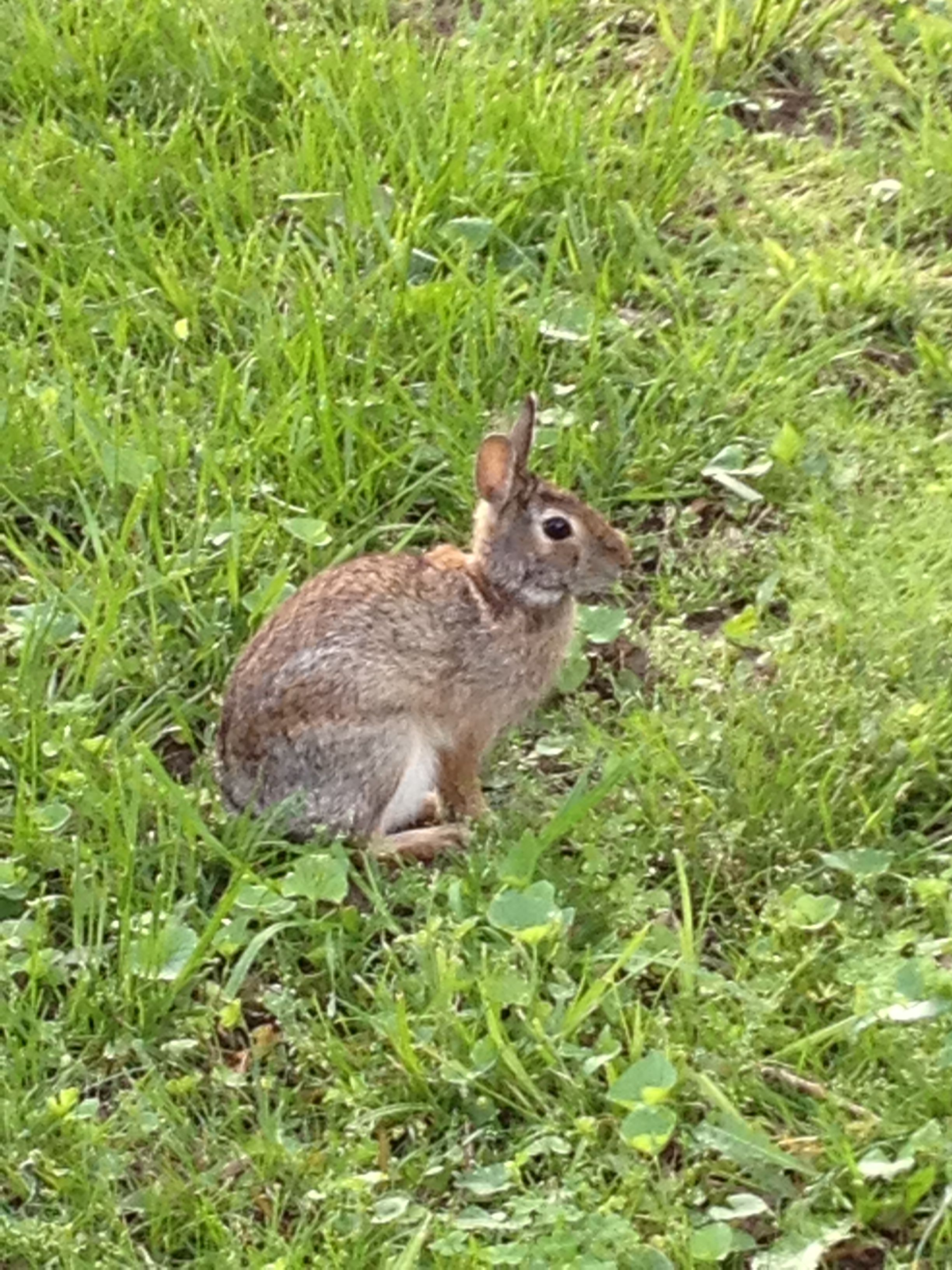Born free one of the bunnies that lives in our backyard