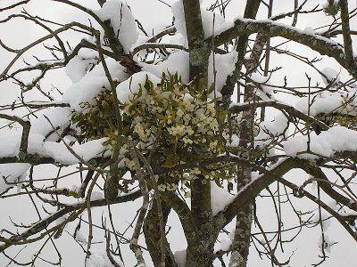 El muérdago una planta vinculada a las tradiciones de Navidad.