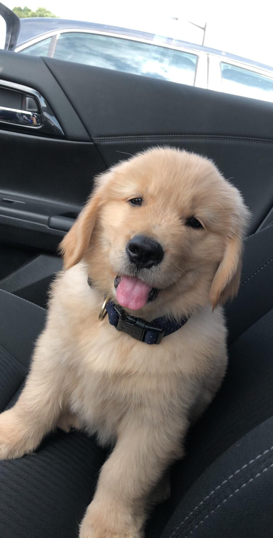 Meet Nugget He Tries To Be The Goodest Boy Out There Labrador