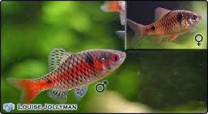 Odessa Barbs Male And Female Odessa Barb Fish Pet Freshwater Aquarium