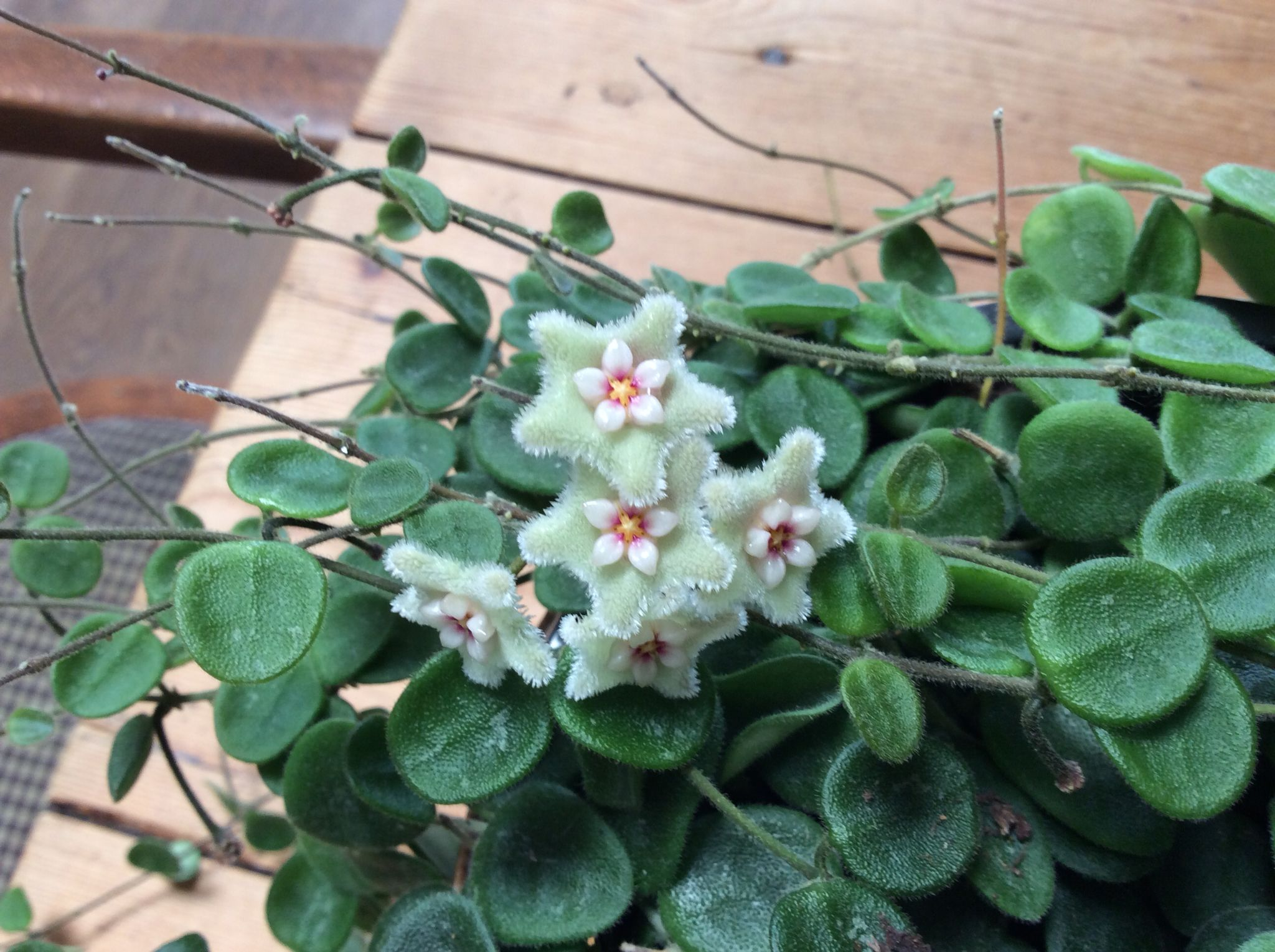 Discover Ideas About Hoya Plants