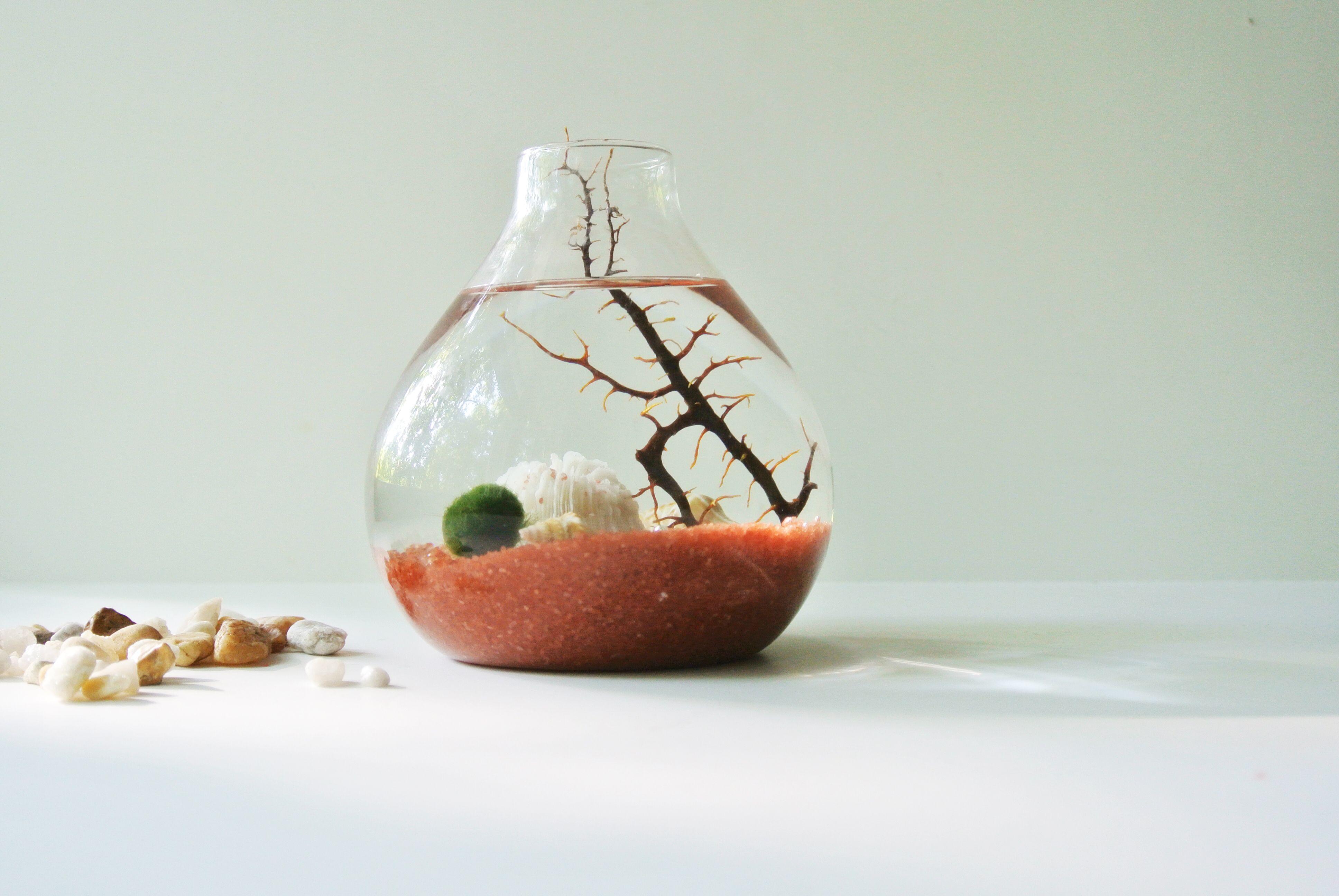 Red Sea Ash Aqua Terrarium - Marimo Ball , Japanese Moss Ball