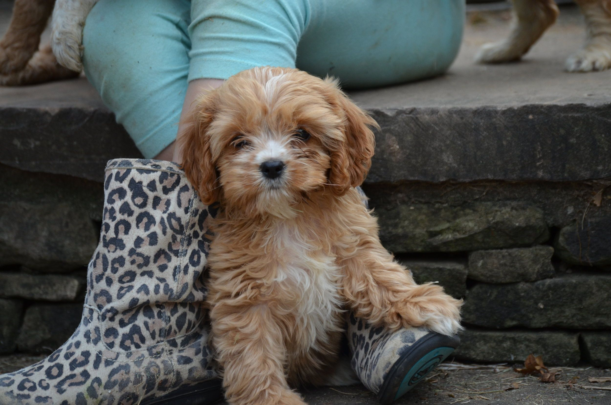 Cavapoo Breeders Providing The Best Quality Cavalier King Charles