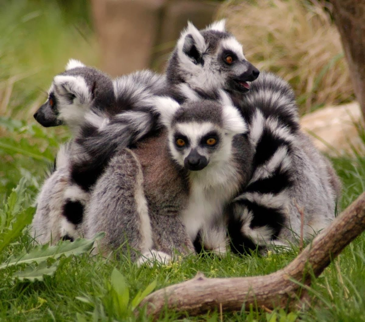 Ringtailed lemur Lemur, Rare animals, Animal