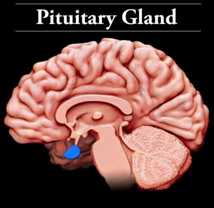 pituitary gland: located at the base of the brain, the pituitary, Sphenoid