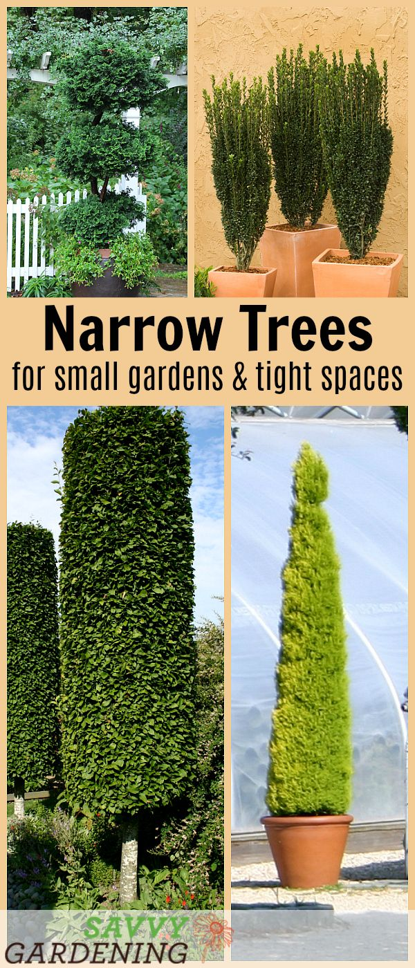10 Narrow Trees for Small Gardens and Tight Spaces is part of Small gardens, Small trees for garden, Landscaping trees, Narrow garden, Garden trees, Small trees - Discover ten amazing narrow trees for small gardens  These columnar trees are perfect for tight spaces, such as the area between your home and driveway, along a fence line, around a patio, or as a privacy shield between you and your neighbors
