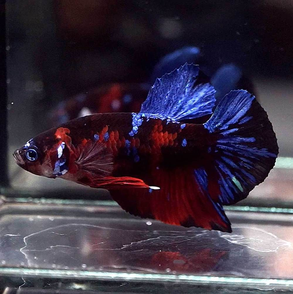 Betta Fish Betta Fish Ideas Bettafish Fishbetta Live Betta Fish Big One 1 6 Body Male Super Red Koi Galaxy Halfmoon Plakat Hmpk Betta Fish Betta Fish
