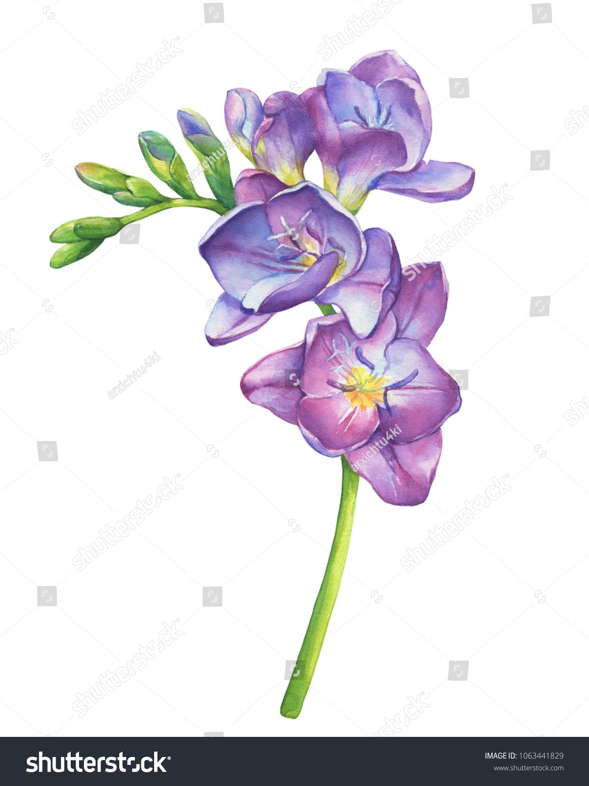 Close Up Of Fresh Branches Violet Freesia Flowers With Buds Perennial Plant Freesia Serrada Floral Botan Flower Painting Flower Art Watercolor Tattoo Flower