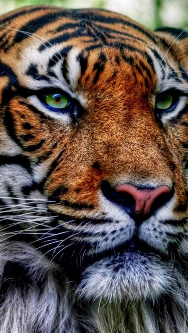 Jungle King Tiger Mobile Wallpapers Pinterest Cats Tiger