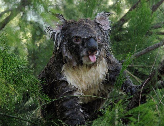 Wet Koala 4 Koala Animals Koala Bear