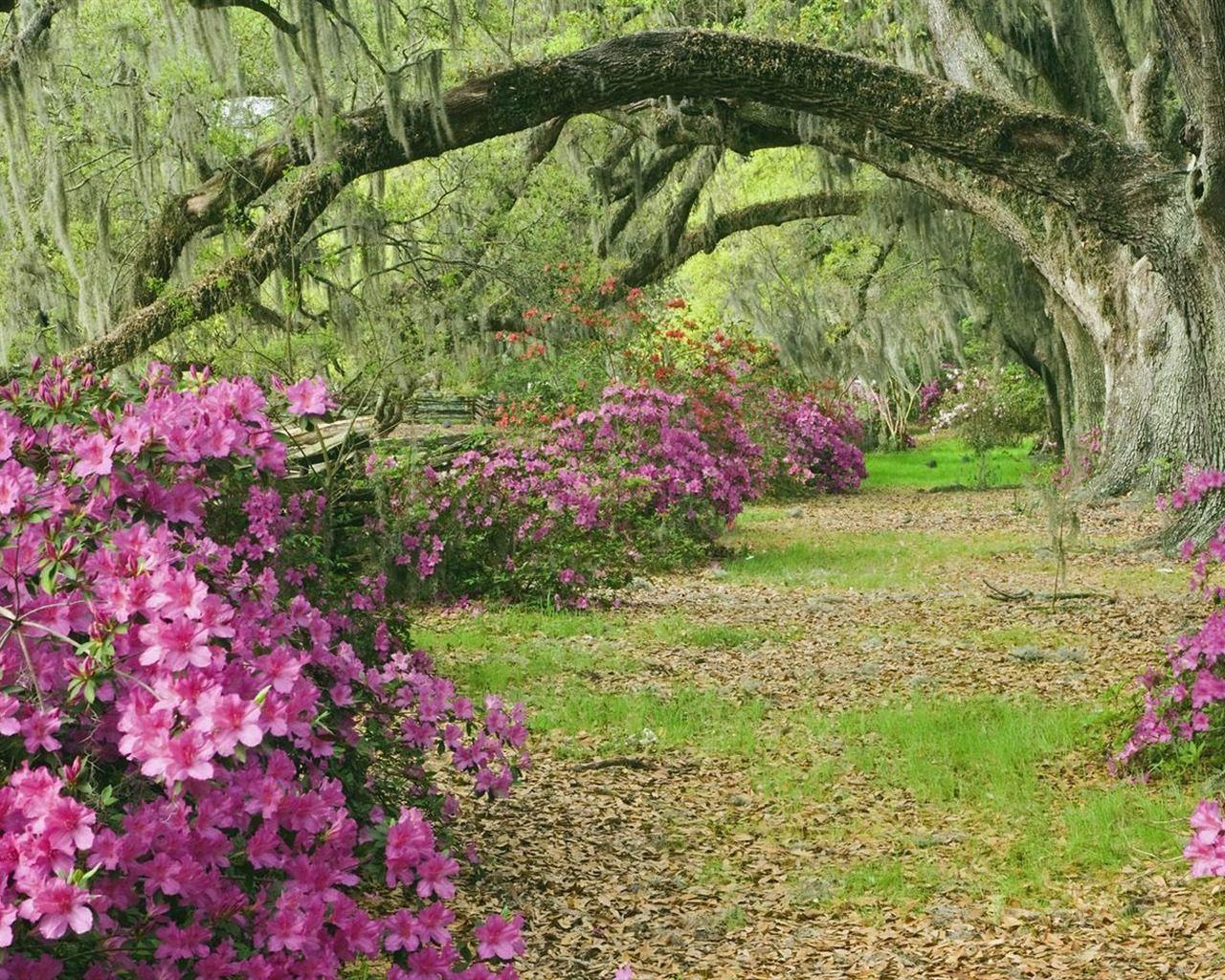 Image detail for -Azaleas and Live Oaks Magnolia Plantation South Carolina wallpaper ...