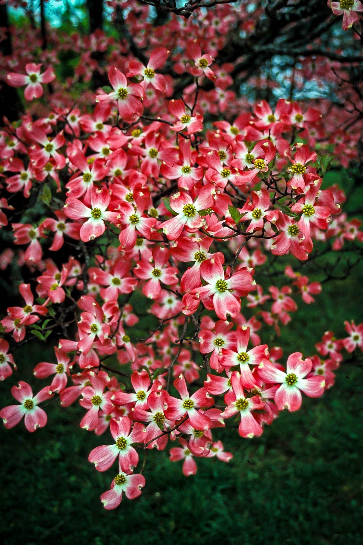 Cherokee Chief Dogwood Trees For Sale The Tree Center In 2020 Dogwood Trees Flowering Trees Flower Landscape