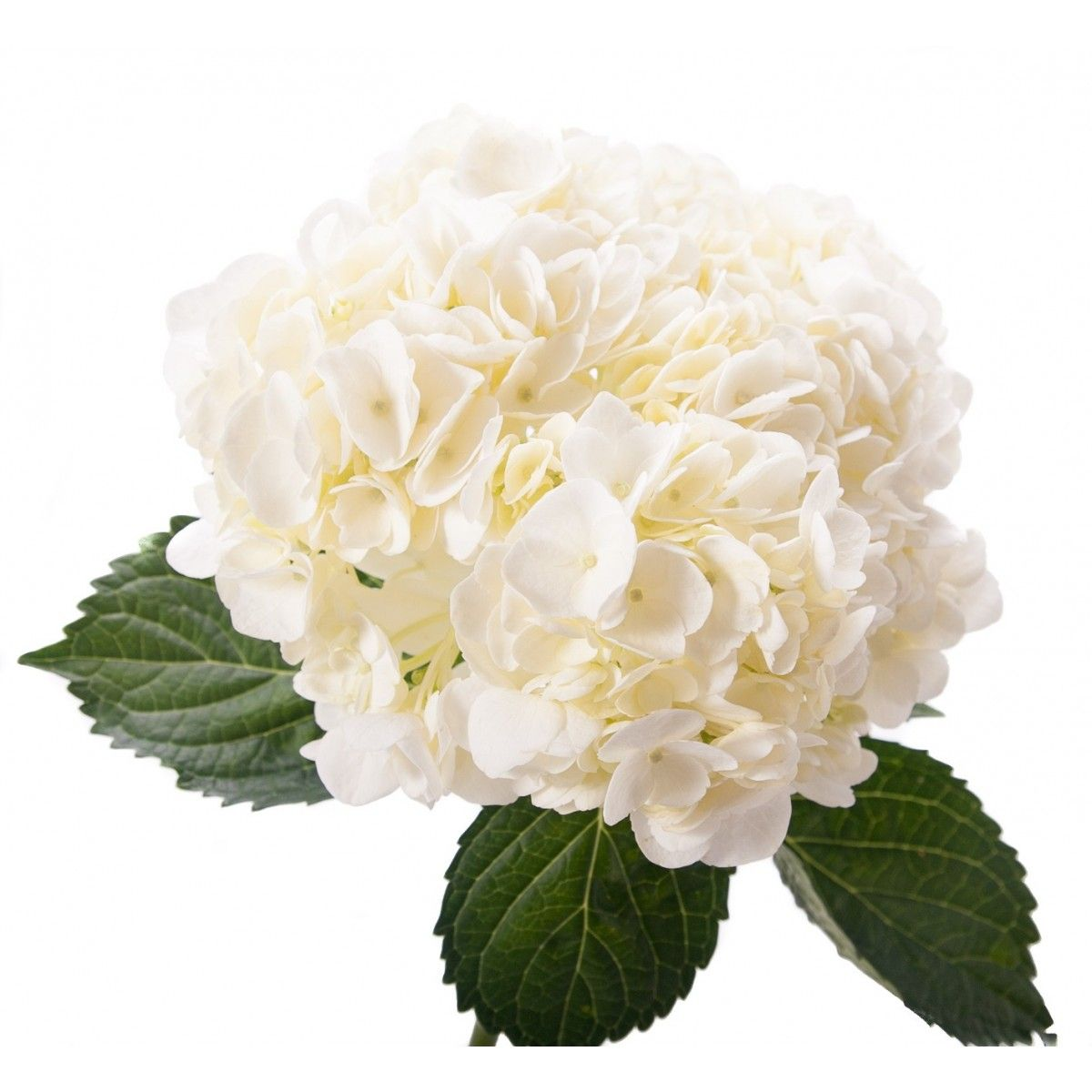 Wedding White Hydrangea: White Hydrangea- For Altar Arrangement Option 1