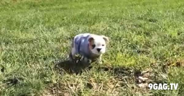 This English Bulldog Puppy Loves Rolling Down Hills 9gag Tv