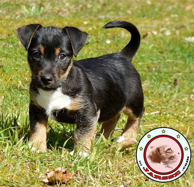 All You Need To Know About The Black Jack Russell Terrier