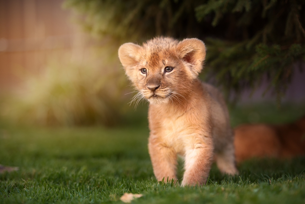 Baby Lion | Cute baby animals, Cute lion, Baby animals funny
