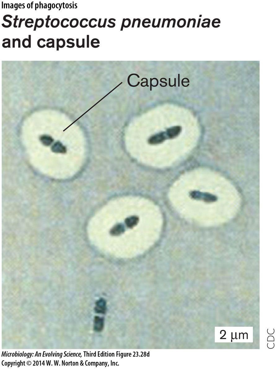 quellung reaction Streptococcus pneumoniae, Bacillus