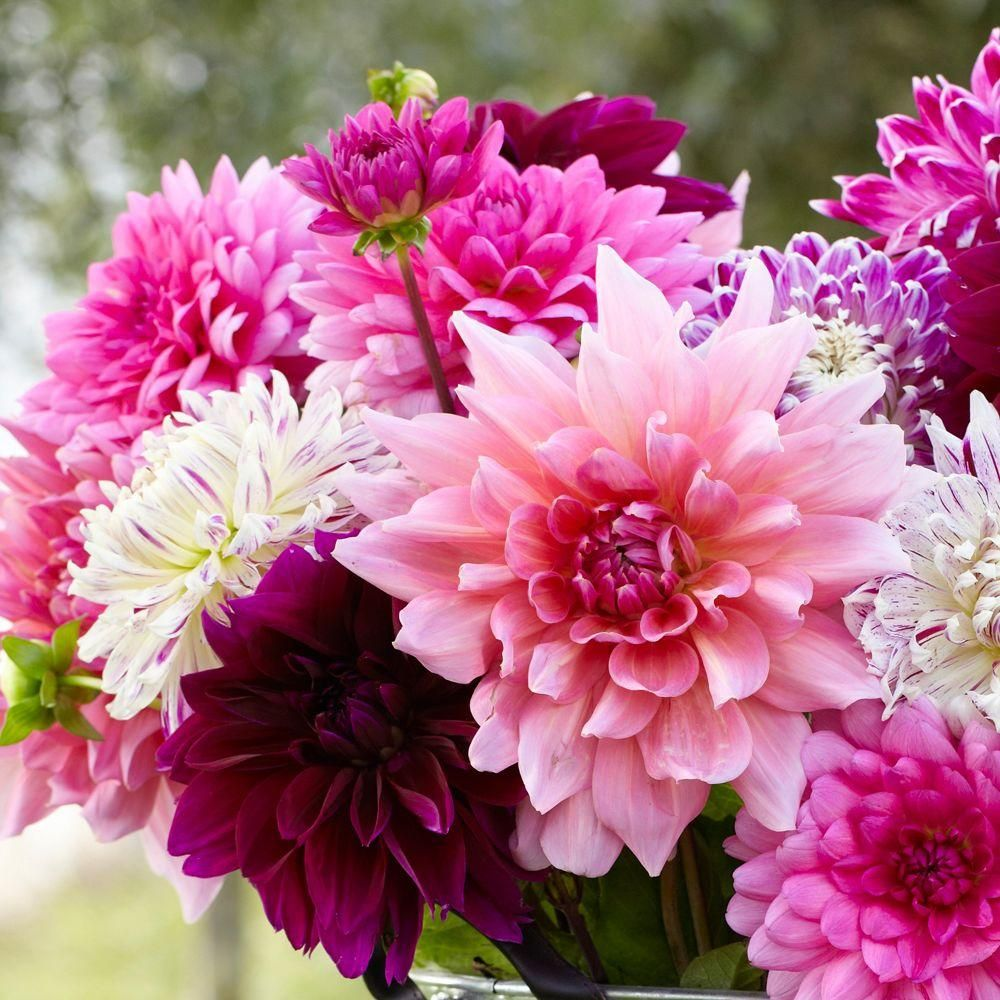 Dahlia Rose Dinner-plate Mix Flowering Bulb (5-Pack) & Dahlia Rose Dinner-plate Mix Flowering Bulb (5-Pack) | Products ...