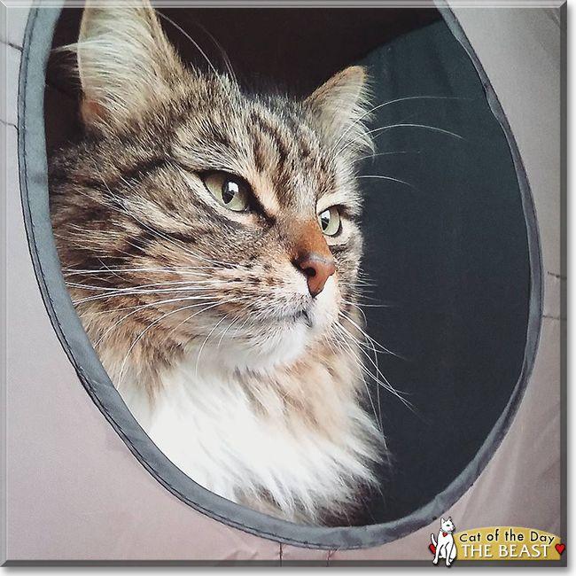 The Beast the Semi Longhair Cat