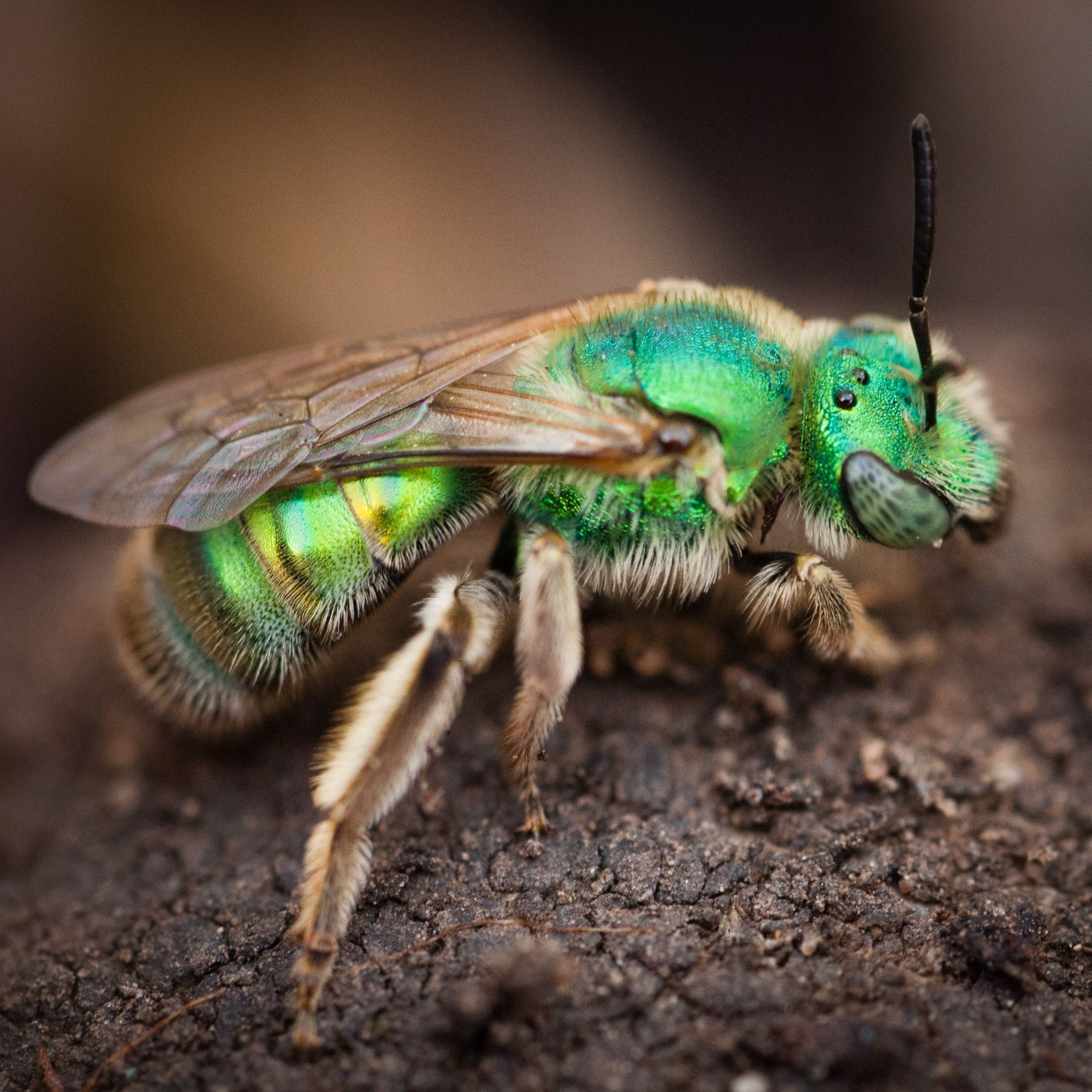 How To Get Rid Of Sweat Bees Be Persistent 2021 Sweat Bees Pollinator Week Bee