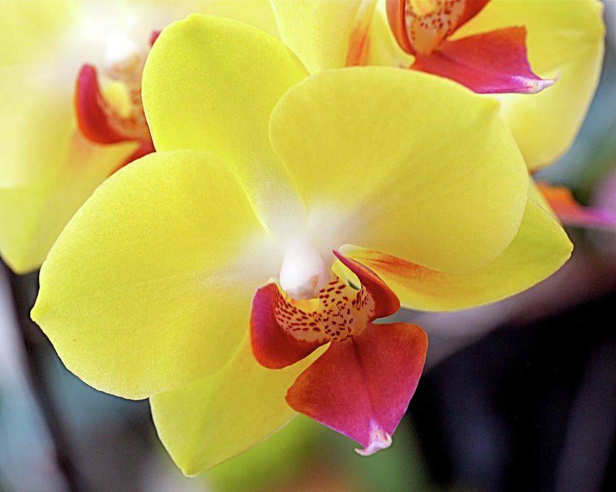 Yellow Phalaenopsis Orchids By Rona Black Yellow Orchid Phalaenopsis Orchid Orchids