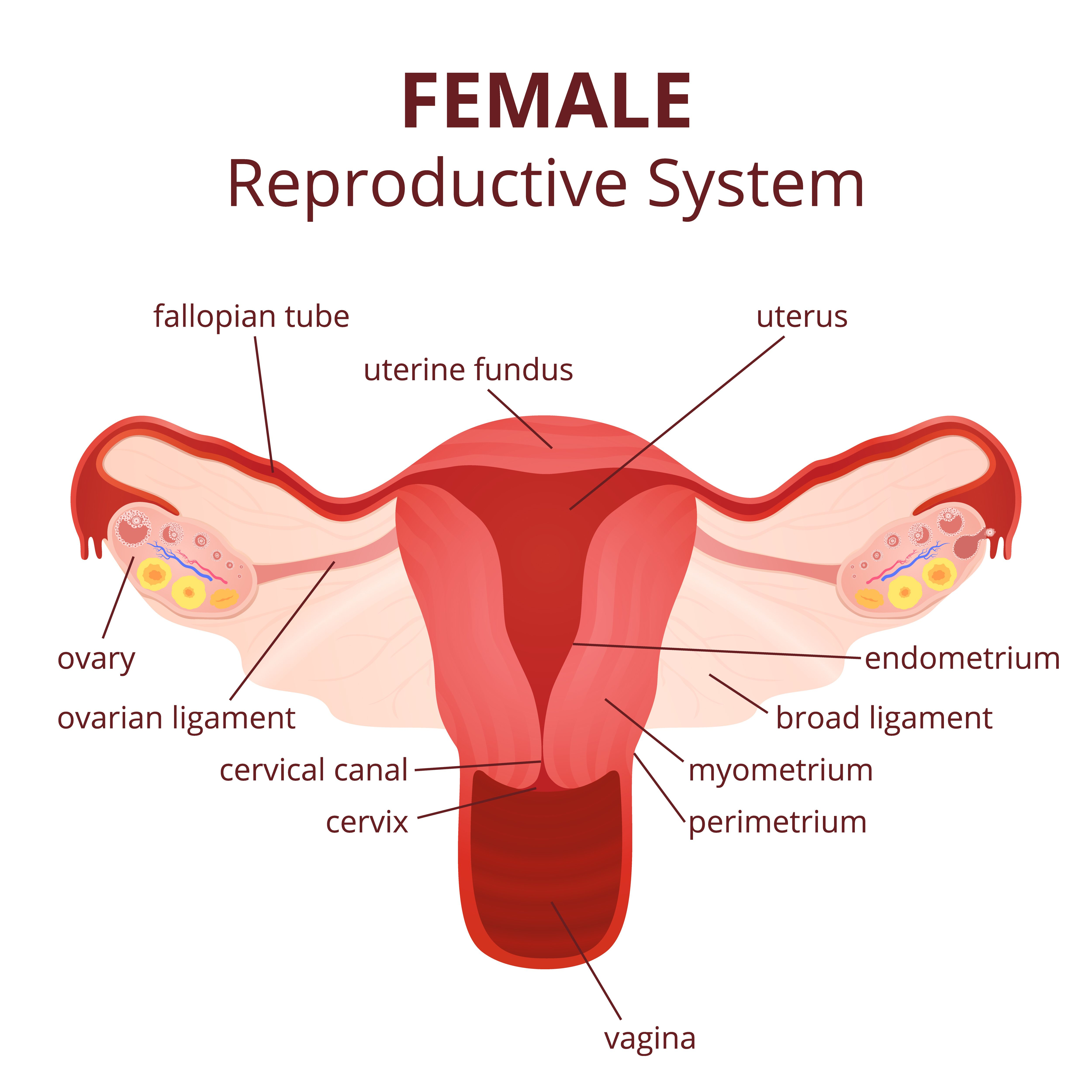 Some of your reproductive organs are inside the body such as the explore female reproductive system and more pooptronica