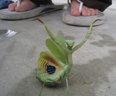 Praying Mantis Praying Mantis Beautiful Bugs Animals Beautiful